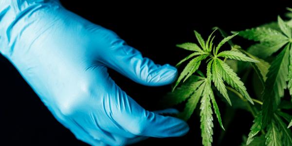 Cannabis VPD Chart Guide