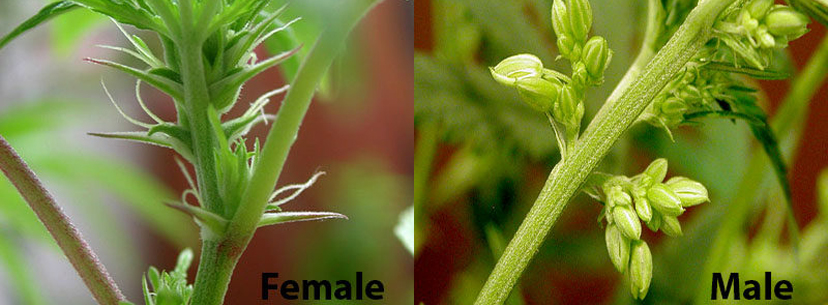 Male vs female cannabis buds