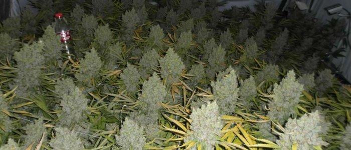 Grow huge buds with CO2