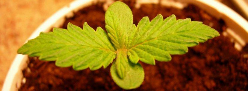 Deficiency seedlings cannabis