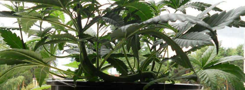 lst plant bigger buds