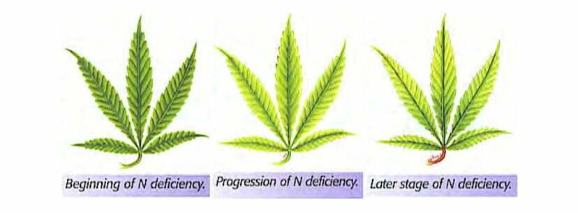 Nitrogen Deficiency leafs