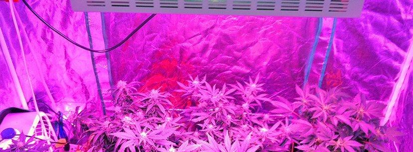 uv lights growing cannabis