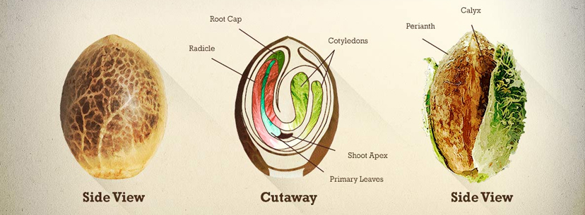 Explenation of the cannabis seed