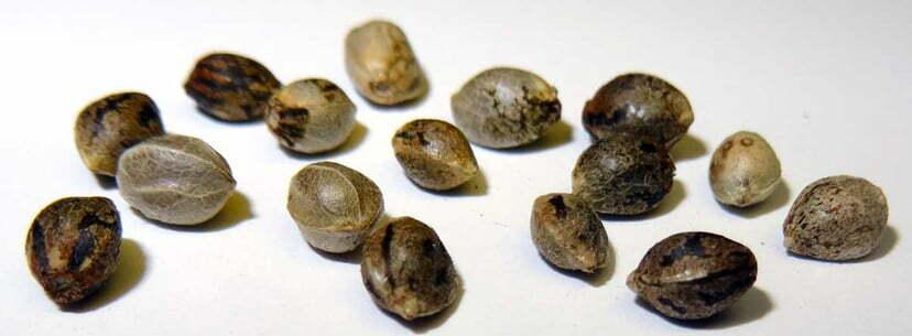 feminized weed seeds