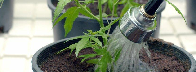 Tap water marijuana