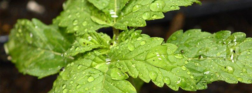 Ideal humidity for marijuana seedlings