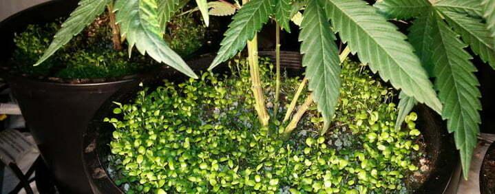 companion plants growing marijuana
