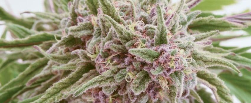 Marijuana plant flowers