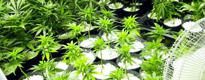 Perlite hydroponics cannabis