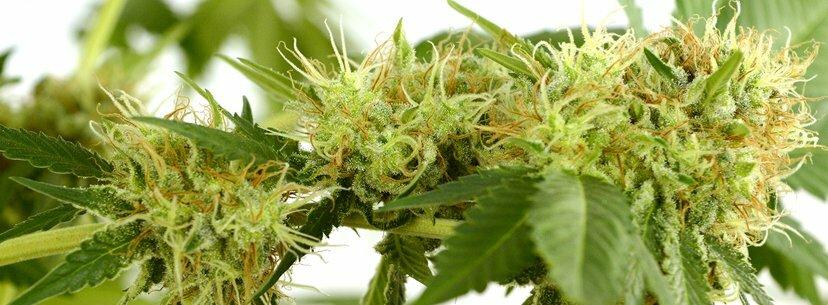 bud's pistils cannabis
