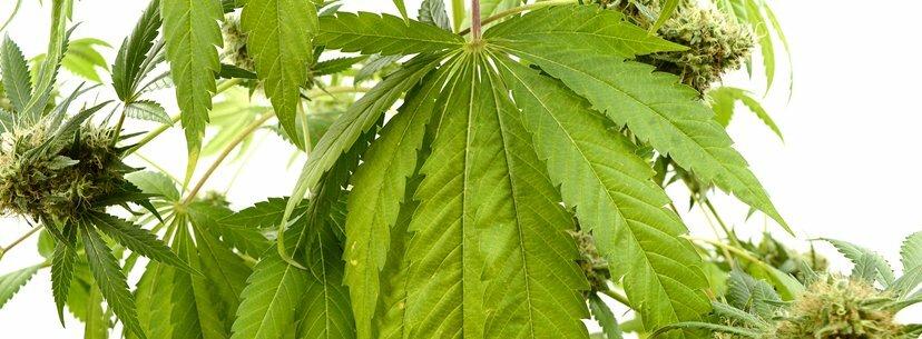 Harvest time cannabis