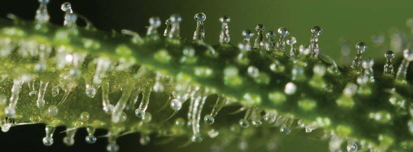 trichomes cannabis