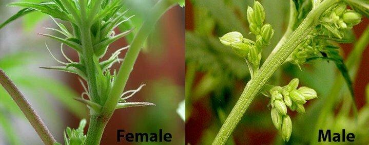 Male vs female hermaphrodite cannabis plant