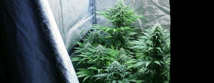 darkness cannabis