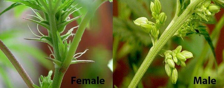 Male vs Female plant