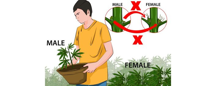 Remove male marijuana plants