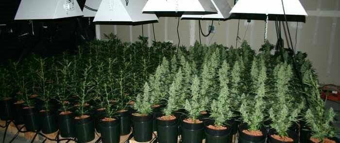 Growing autoflower weed plants