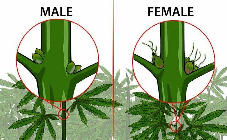 Male or female autoflower