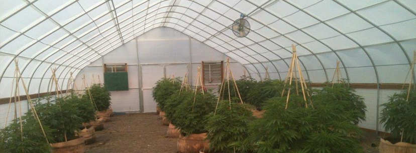 Semi-diffused greenhouse cannabis
