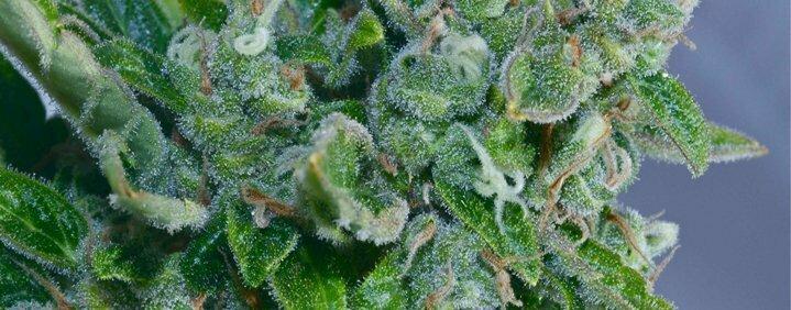 What is autoflowering?