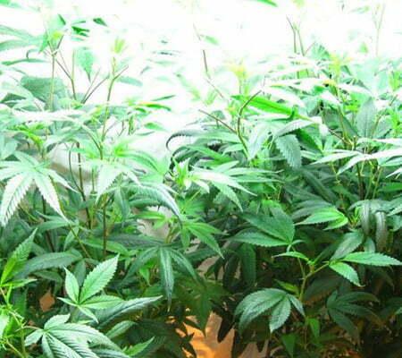 Cannabis lighting