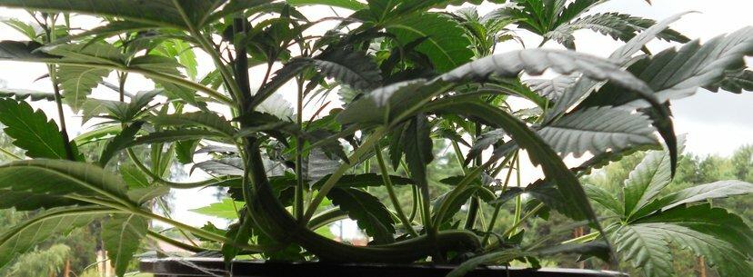 lst pre flowering cannabis