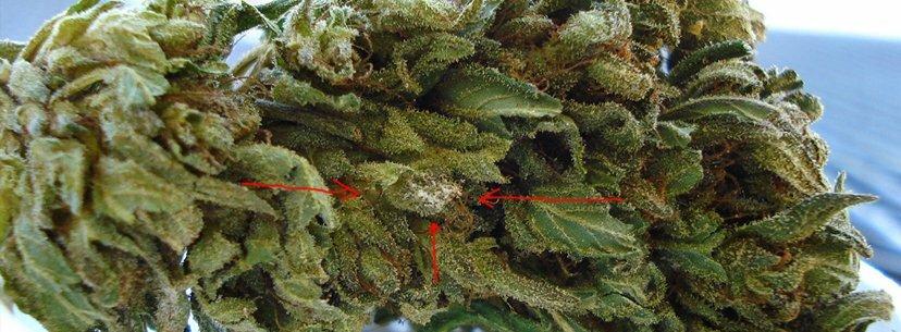 mold bud cannabis