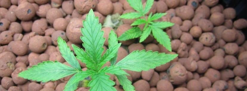 Kandy Kush Growing