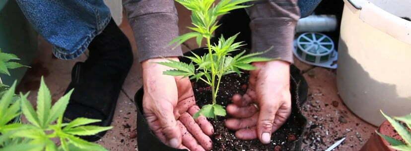 Cannabis plants outside