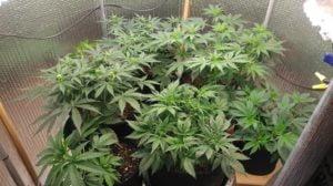 Flowering Marijuana