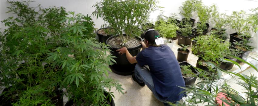 Growing_and_Manufacturing_Marijuana_001