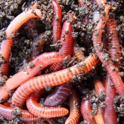 Obtain Earthworms