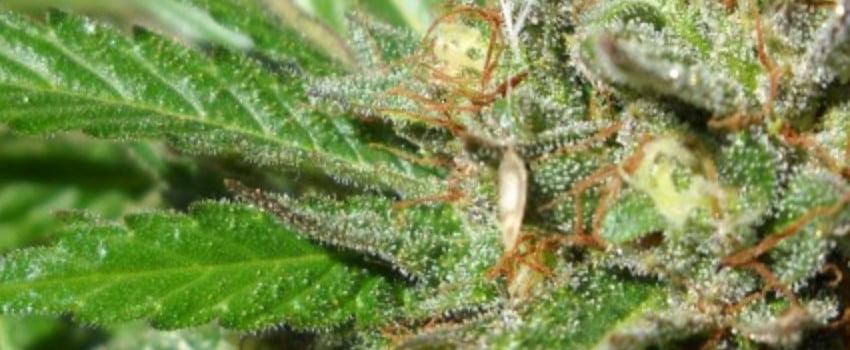 Emerald OG Medical