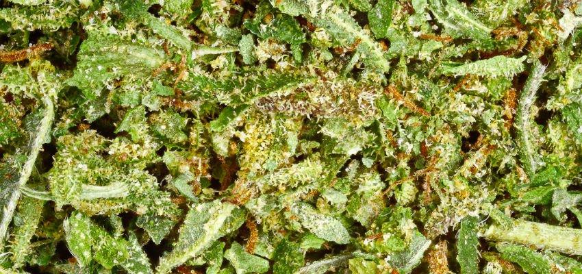 leftover cannabis trim 2