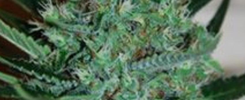 White Lavender Medical