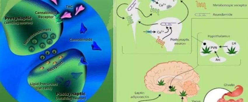 Scientific Studies Highlight the Endocannabinoid System