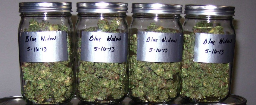 Curing Marijuana in Jars