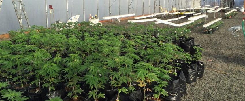 Calaveras County cannabis farmers